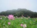 臼杵石仏前の蓮畑