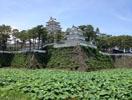 島原城の蓮