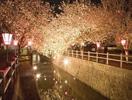 中野川 桜