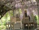 宗吾霊廟の藤